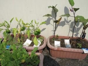 4月に植えたピーマンとナスの実が見事に生っていました!感激!