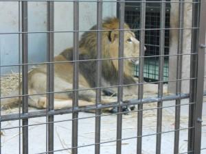 百獣の王、ライオン様だ!