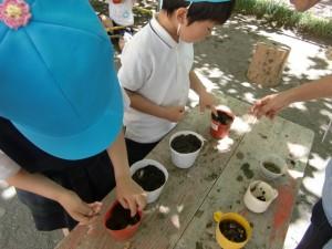 植木鉢の土に、指で穴を浅く掘って種を埋めます。