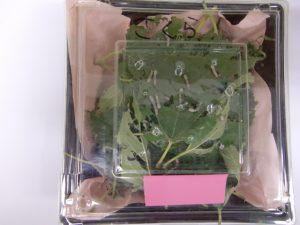 園庭の桑の実を食べながら、みんな蚕さんのrために、葉っぱも摘んでいます。
