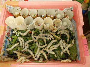 蚕さんもこんなに大きく成長しました。繭も作り始めました。これはさくらさんのです。